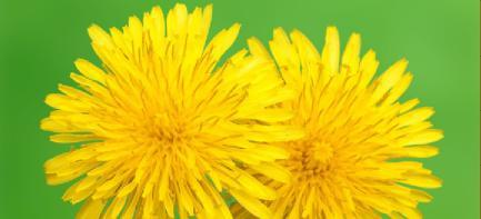 kilis çiçekleri