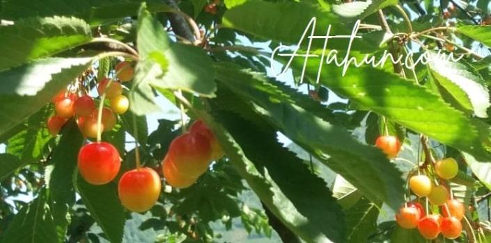 Kiraz Meyvesi