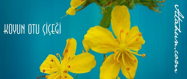 koyun otu çiçeği