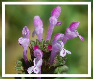 Van çiçekleri