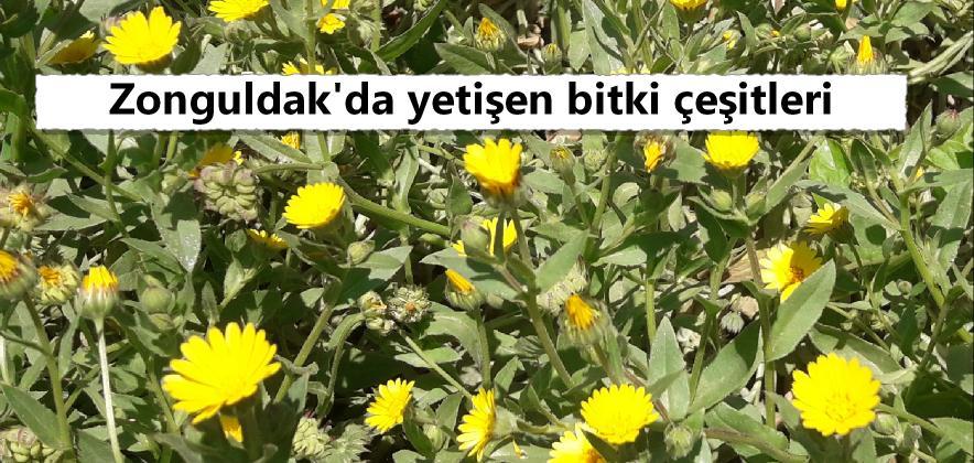 zonguldak çiçeği