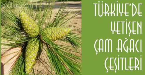 çam ağacı çeşitleri