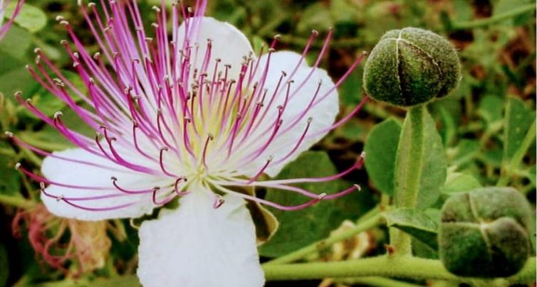 Kapari Çiçeği Nedir? Kapari Nerede Yetişir?