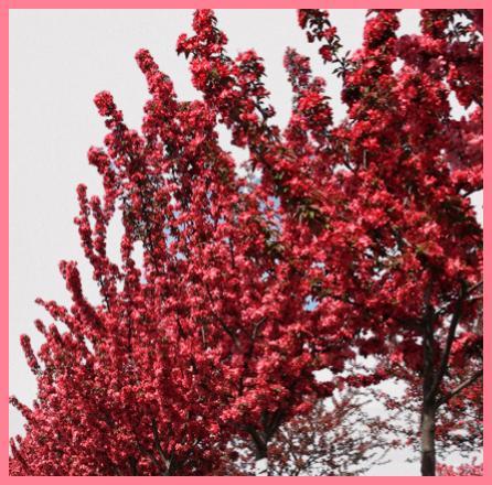 Alev Ağacı