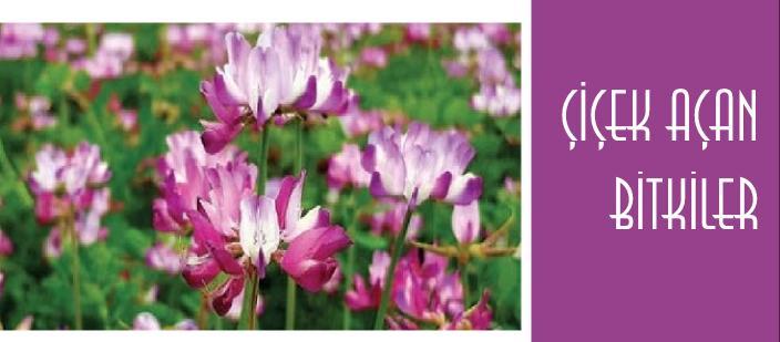 Türkiyede Çiçek Açan Bitki İsimleri