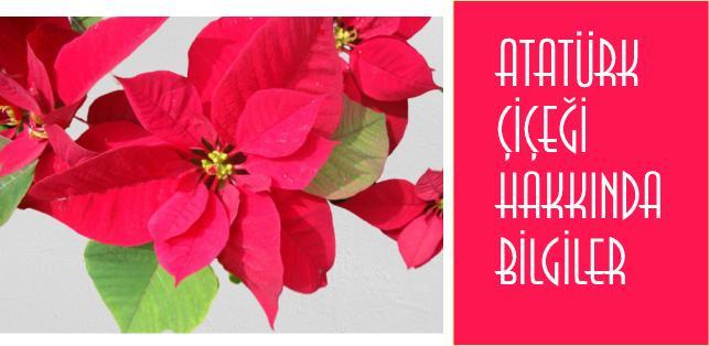 atatürk çiçeği