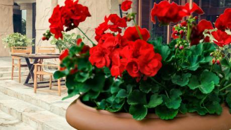 Açelya Çiçeğinin Bakımı Nasıl Yapılır?