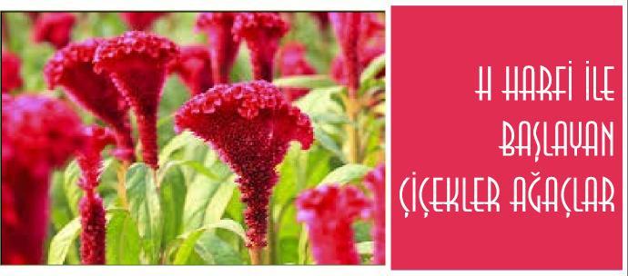 h harfiyle başlayan bitki, çiçek, ağaç