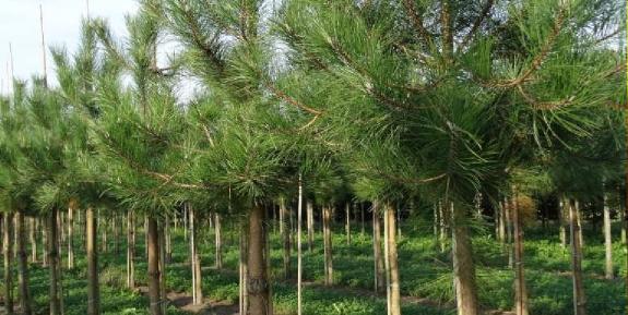 karaçam ağaçları