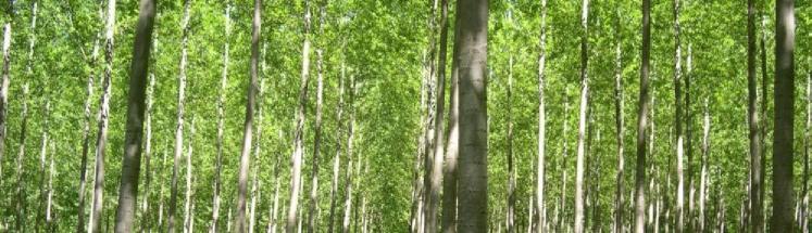 kavak ağacı dalı