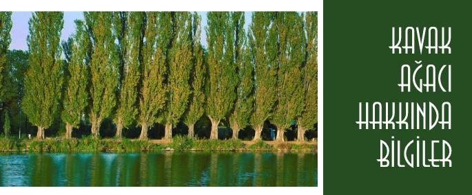 Kavak Ağaçları Hakkında Bilgi