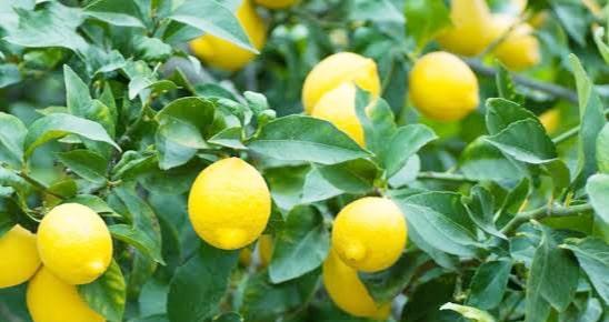 Limon ağacı nasıl budanır