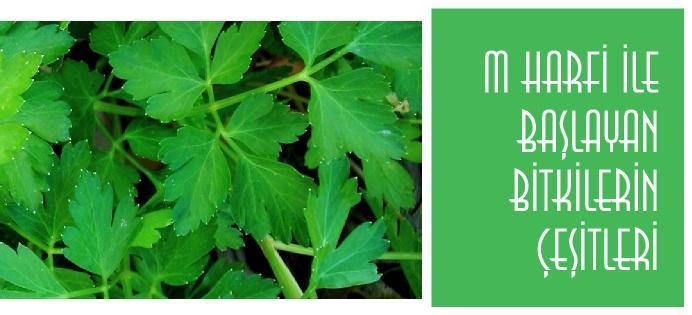 M harfi ile başlayan bitkilerin isimleri