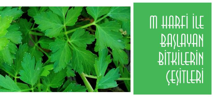 m ile bitki ismi