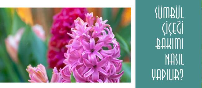 sümbül çiçeği bakımı