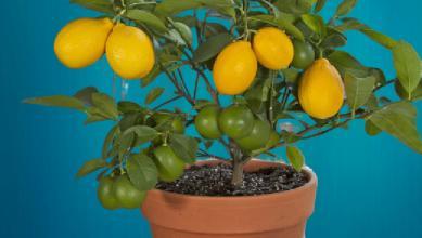saksıda yetişen meyve sebze