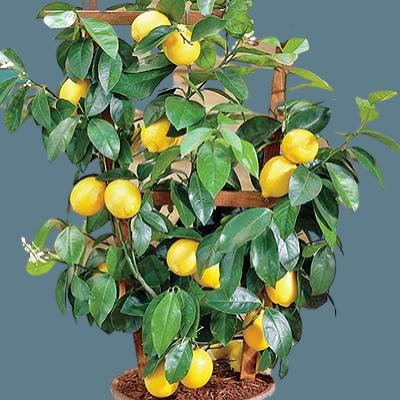 saksıda limon bakımı