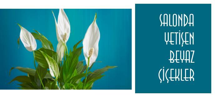Salonda yetişen beyaz renkli çiçekler