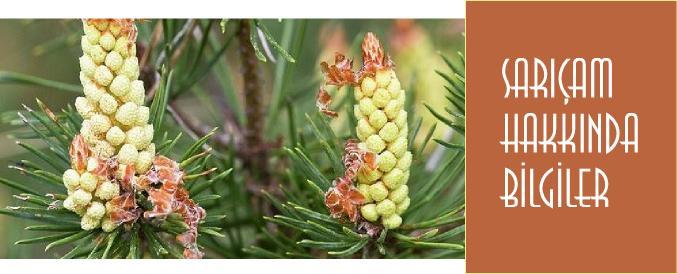 Sarıçam Ağacı Türkiye'de nerede yetişir?
