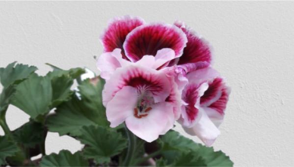 Sardunya çiçeği bakımı nasıl yapılır?