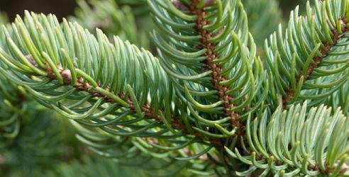 sedir ağacı çeşitleri