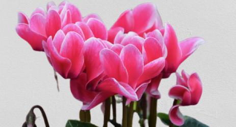 Sıklamen Çiçeği (Cyclamen Pensicum) Bitkisi