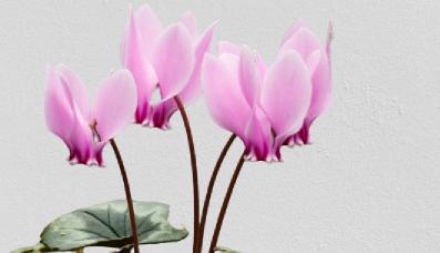 siklamen çiçek çeşitleri