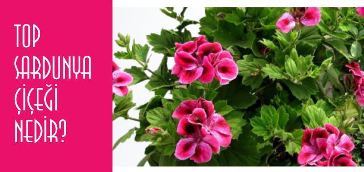top sardunya çiçeği