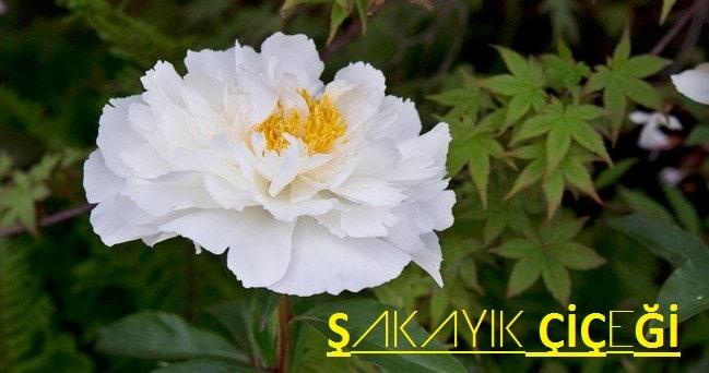 şakayık çiçeği bitkisi
