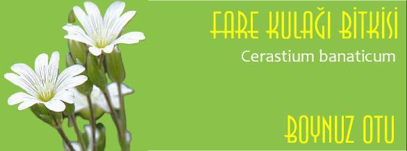Cerastium banaticum bitkisi