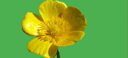 Ranunculus çiçeği bakımı nasıl yapılır