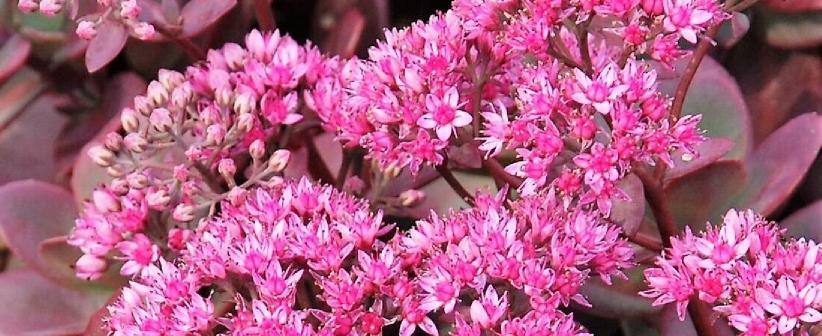 Sedum dam koruğu bitkisinin özellikleri