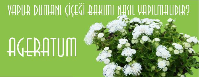 ageratum çiçeği bakımı