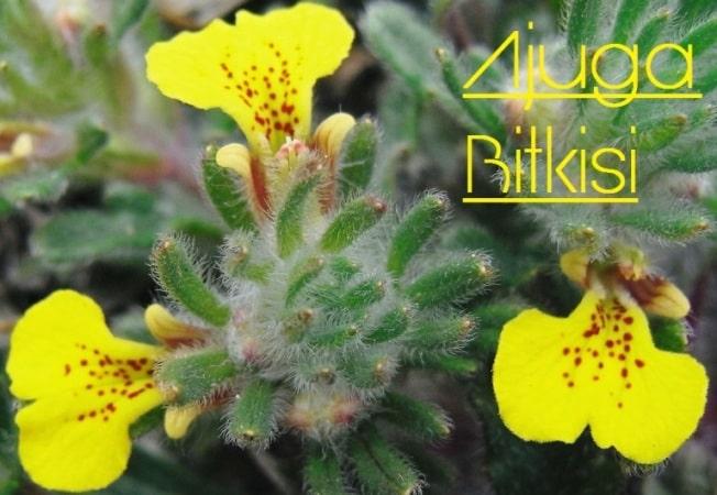 ajuga çiçeği çeşitleri