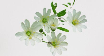 araneria kum oto çiçeği