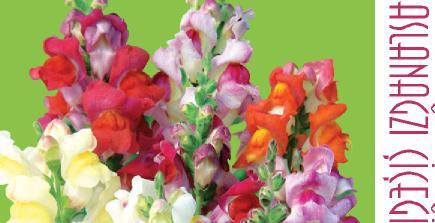 aslanağzı bitkisi, aslanağzı çiçeği