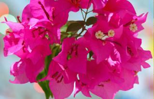 begonvil çiçeği nasıl bakılır?