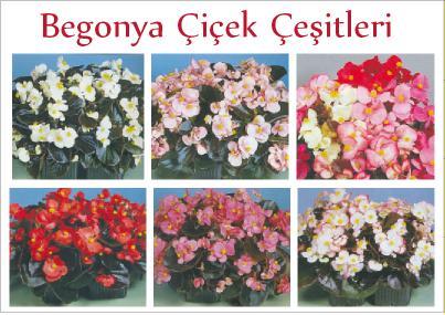 begonya çiçek çeşitleri