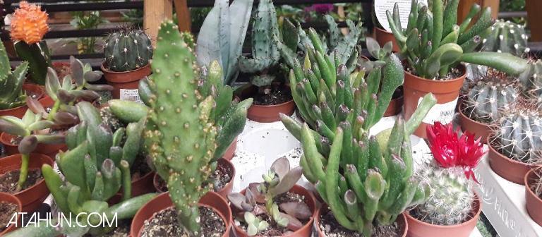 cactus kaktüs bitkisi