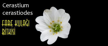 cerastium çiçeği