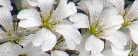 cerastium flower