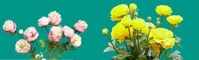 düğün çiçeği yetiştirme ve bakımı