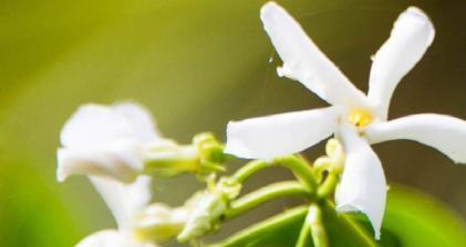 en güzel kokan gül çiçek