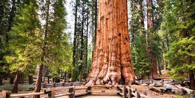 en uzun yaşayan ağacın ismi nedir