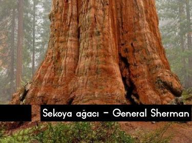 en zun süre yaşayan ağaç çeşitleri