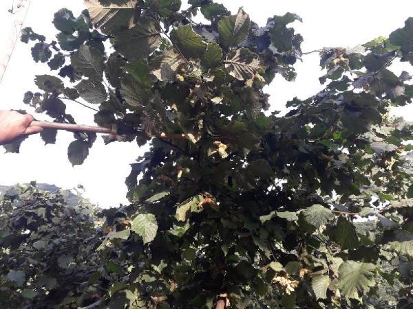 fındık ağacı