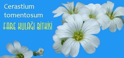 fare kulağı bitkisi çiçeği