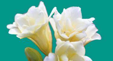 frezya çiçeği bitkisi