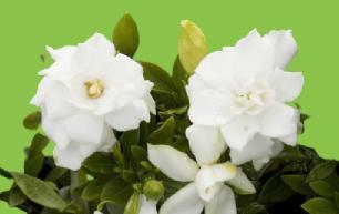 gardenya çiçeği bitkisi