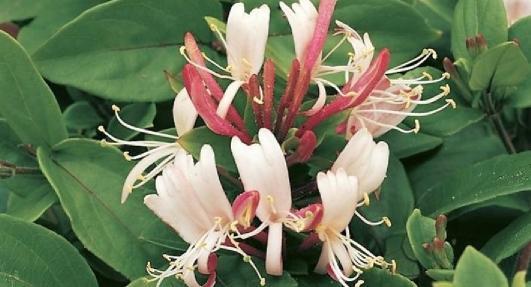 hanımeli çiçeği bitkisi